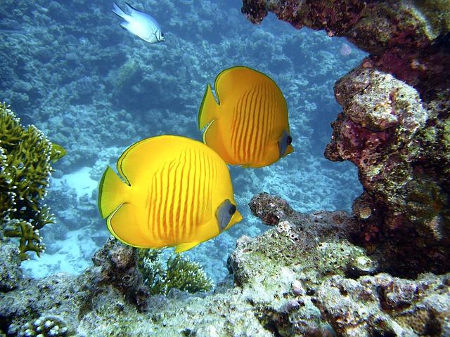 žluté rybky